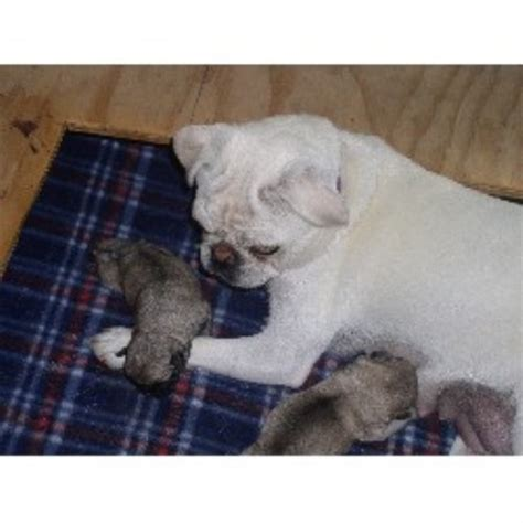 california pug breeders tami pug breeder in woodland california