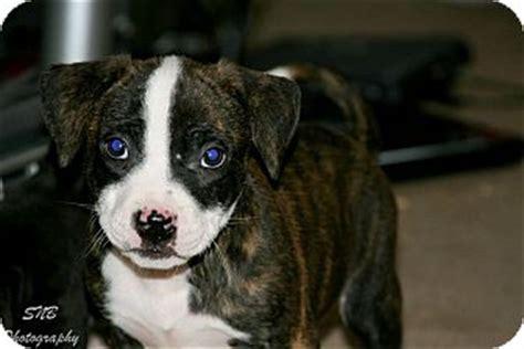 american bulldog pug puppies chunk adopted puppy oak creek wi american bulldog pug mix