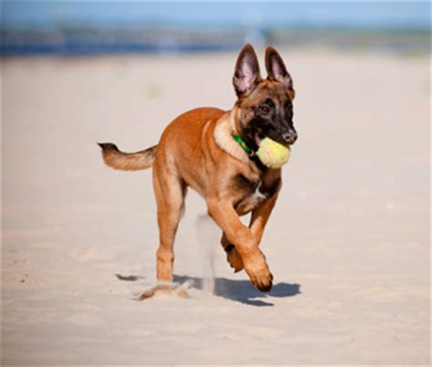 how much exercise for a puppy how much exercise is much for a puppy