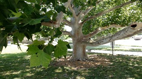 Why Do Sycamore Trees Shed Their Bark by June 2016 K State Turfgrass