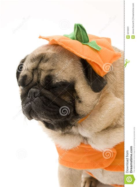 pug pumpkin costume tired pug in costume stock image image 6316931