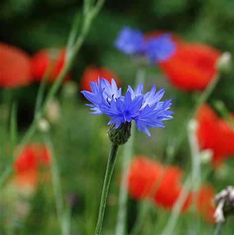 fiore selvatico immagini prato petalo estate erba produrre