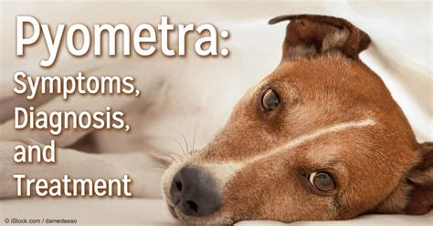 pyometra symptoms in dogs pyometra more than a uterine infection