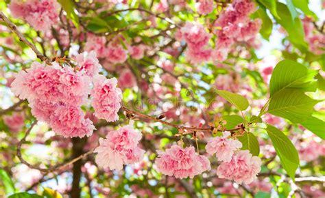 immagini di sull albero fiore sull albero fiore di ciliegia in primavera