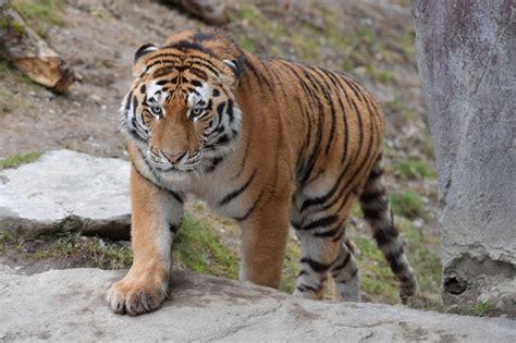 minicuentos de tigres y 8448837118 ein neuer tiger ist da zoo z 252 rich