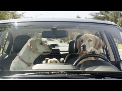 golden retriever driving car commercial subaru tested subaru commercial in the house