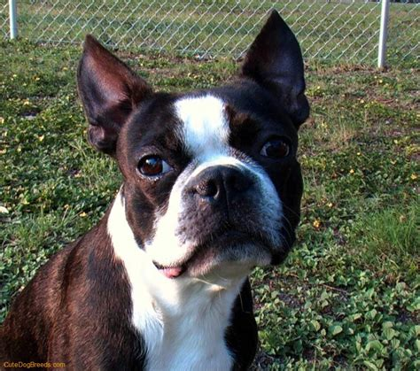 puppy boston terrier boston terrier picture