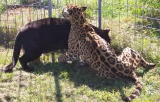 Jaguar Cat Weight Jaguar Facts Big Cat Rescue