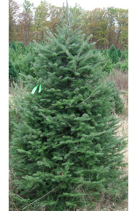 christmas trees northern family farms