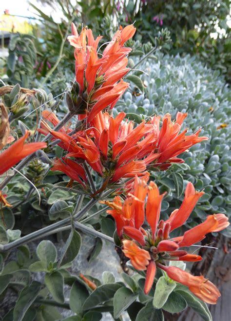 dicliptera suberecta uruguayan firecracker plant buy