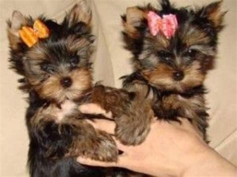 teacup yorkies for sale in new jersey yorkie puppies for sale animals hoboken new jersey announcement 35470