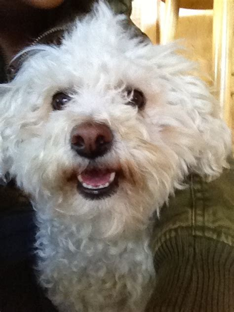 yorkie bichon poodle mix yorkie bichon poodle mix images