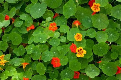 Kapuzinerkresse Winterhart by Essbare Blumen Ideen Und Inspirationen Webkoch De Ratgeber