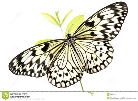 imagenes en blanco y negro de mariposas mariposa blanco y negro idea leuconoe en blanco imagenes