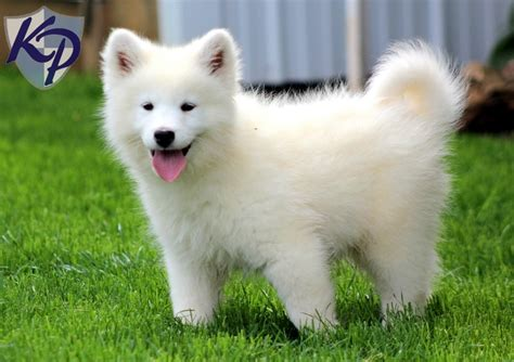 samoyed mix puppies for sale image gallery samoyed mix