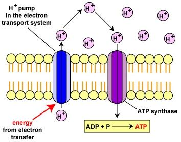 Generation Of Proton Gradients Across Membranes by 18 3d Electron Transport Chain And Chemisomosis Biology