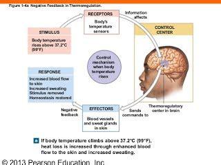 negative feedback loop anatomy and physiology the emoji