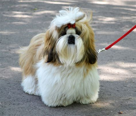 what two dogs make a shih tzu the beginners guide to shih tzu shihtzu web