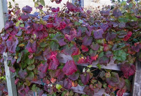vitis  californica rogers red  natives nursery
