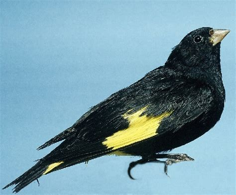 uccellini da gabbia uccelli da gabbia negrito della bolivia