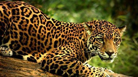 el jaguar panthera onca mascotas taringa galer 237 a especies ex 243 ticos amenazadas en honduras
