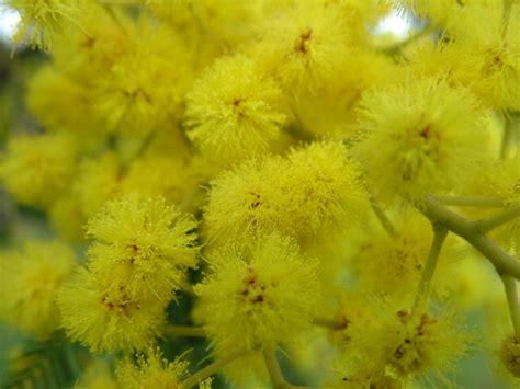 mimose fiori fiore mimose fotografia fiori