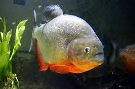 Jual Piranha Belly Kaskus gambar 10 jenis ikan piranha ketahui kaskus gambar hias di