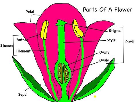flower part diagram diagram plant parts flower diagram to label