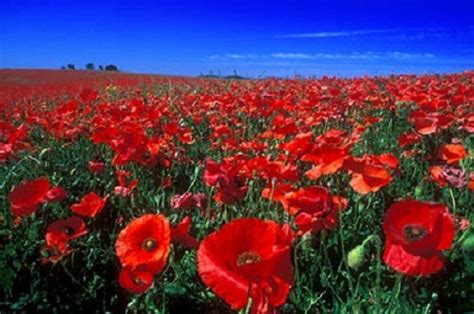 papavero fiore significato dei fiori il papavero pollicegreen