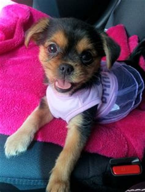 yorkie poo pug mix the yorkie maltese mix how could you not a puppy