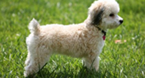 allergy free dogs best hypoallergenic dogs for with allergies