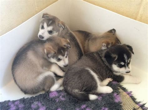 utonagan puppies for sale gorgeous siberian husky x utonagan puppies cambridge cambridgeshire pets4homes
