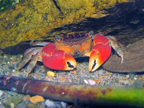 red claw crab red clawed crab care freshwater crab red clawed crab perisesarma bidens care sheet critter