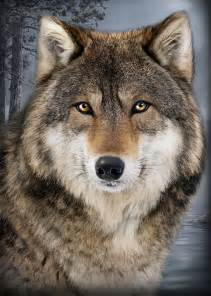 best 25 wolf face ideas on pinterest wolves in love