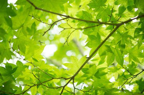file maple leaves jpg file fresh green maple leaves 7185025589 jpg wikimedia