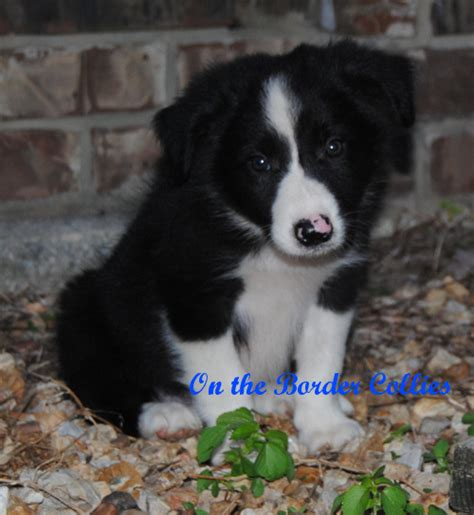 show me puppies show me puppies border collie puppies