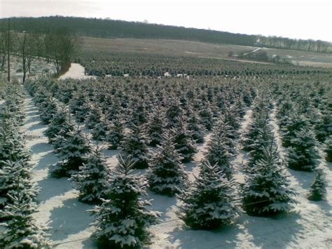 christmas tree farms allentown pa becktreefarms denny leo and jean welcome you to our family tree farm
