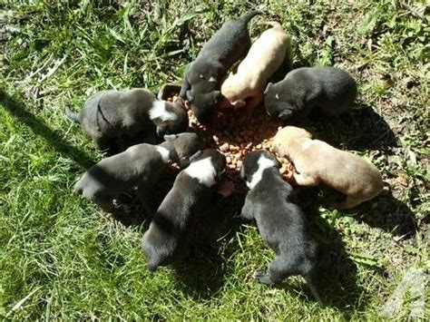6 week pitbull puppies 6 weeks blue pitbull puppies for sale in nuyaka oklahoma classified