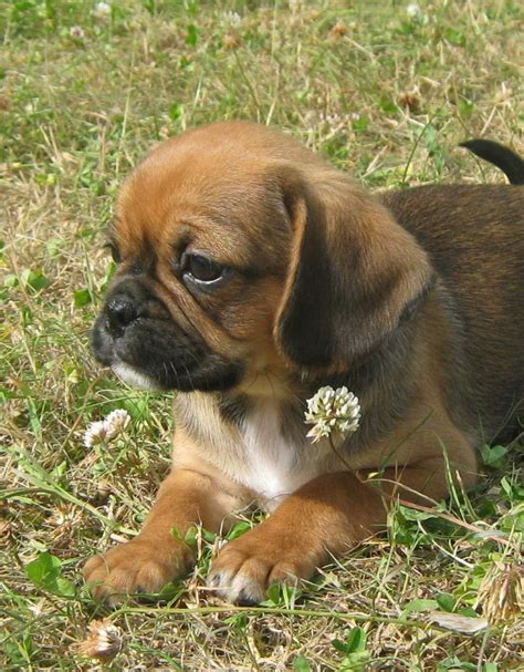 pug cavalier puppies for sale pugalier puppies for sale pug x cavalier king charles spaniel airds quotes