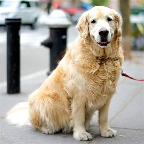 golden retriever new york 20 best images about the dogist on parks beautiful dogs and miniature
