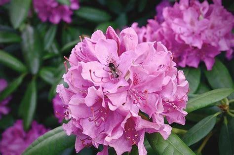rododendro in vaso rododendro piante da giardino coltivare rododendro