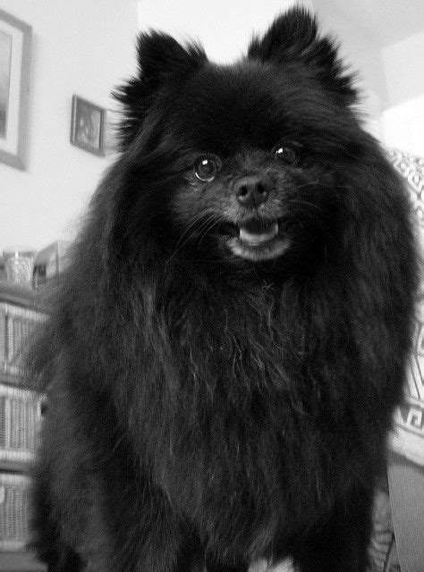 chion pomeranian breeders 20 best black pomeranian images on adorable puppies bebe and