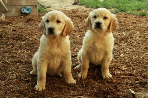 list puppies for sale golden retriever puppy waiting list