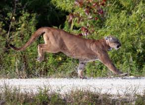 Florida Jaguar Florida Panther Deaths Still At Record High For 2016 Cbs