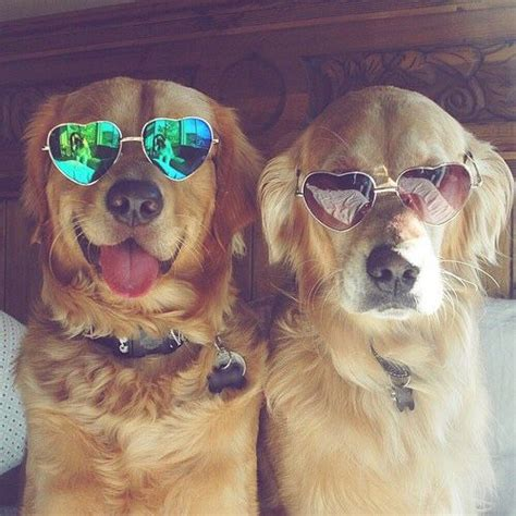 golden retriever with sunglasses so best friends and the cool on
