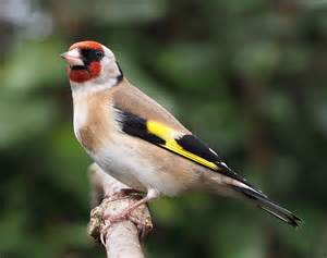 european goldfinch wikipedia