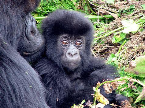 The Wonderful World of Words: Gorilla Essay Winners