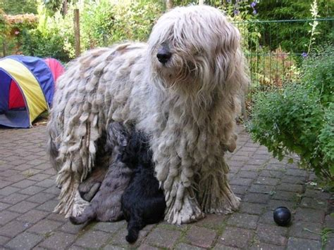 bergamasco puppies file bergamasco with puppies jpg wikimedia commons