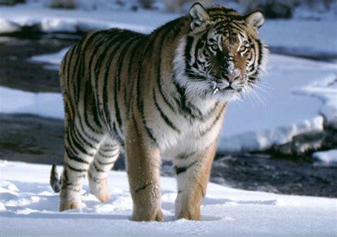 imagenes 4k tigre tigres