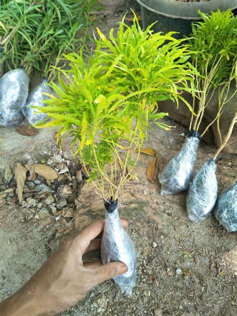 jual tanaman hias brokoli kuning  lapak anggun flora